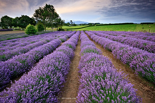 Lavender | by Chris Gin