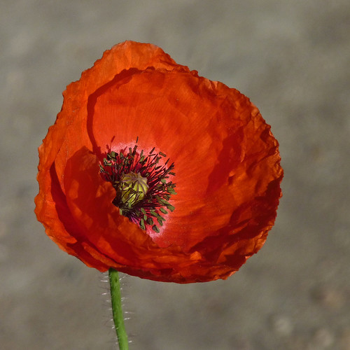 A Poppy always feels good | by annkelliott
