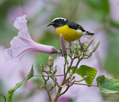 Bananaquit | by Through The Big Lens