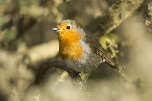 Robin in the hedge  (Explore) | by Chrissie*B*