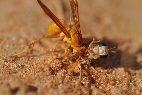 Predation of a mydas fly by a paper wasp (Polistes watti). United Arab Emirates. Photo Credit: Dr.Brigitte Howarth | by EOL Learning and Education Group