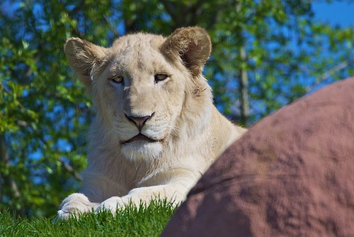 Say Hello to Toronto Zoo's White Lions | by conwest_john
