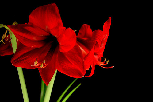 Amaryllis | by fat*daddy