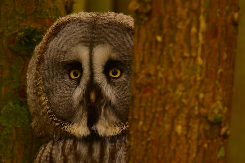 Great Grey Owl | by brennivin.