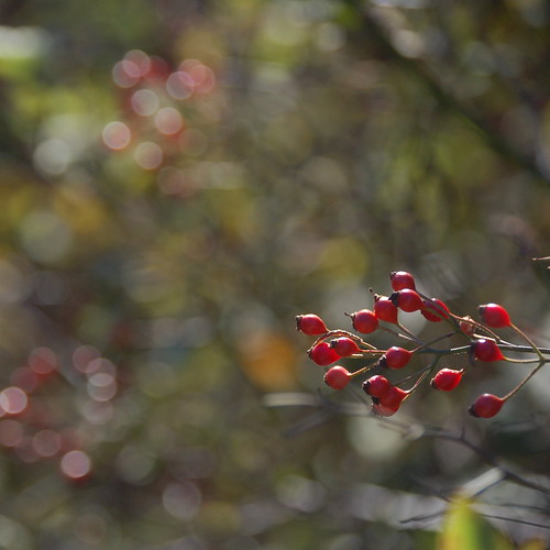 Berry bokeh | by halifaxlight (off for a bit)