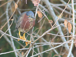 Green Heron male waiting to feed chicks 20120419 | by Kenneth Cole Schneider