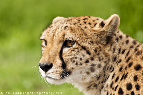 cheetah | by Nino_C