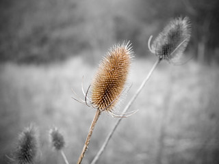 Bright Teasel | by wiremoons