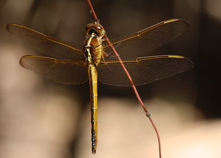 Needham's Skimmer (Libellula needhami) | by Mary Keim