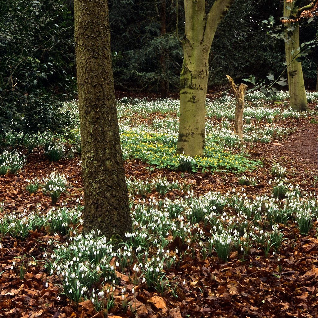 Carpets of snowdrops at Anglesey Abbey Gardens, Cambridges… | Flickr