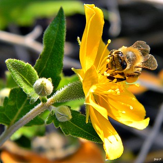 Honey Bee on Mentzelia floridana | by bob in swamp