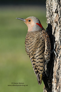 Northern Flicker (Colaptes auratus) - Yellow-Shafted (Taiga/Eastern) | by Sharon's Bird Photos