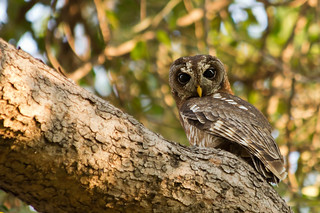 The Resident Owl | by gray.zambia
