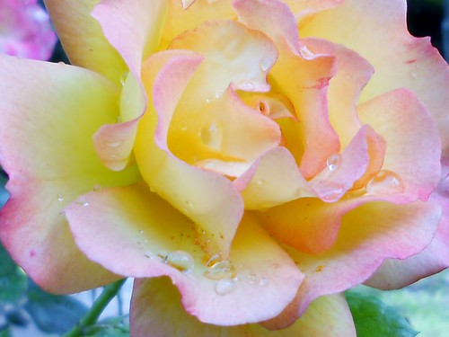 In the Rain... Feliz quinta flower ! | by Rosa Dik 009 -- catching up !