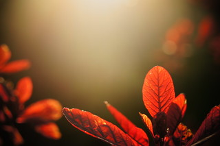 Red Leaf Bokeh | by Jay Jay Kane
