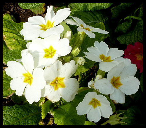 White Primula | by kcm76