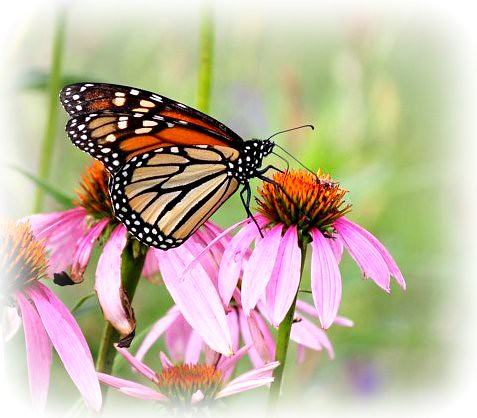 Monarch on Cone Flower | by Happy Shuttering (Ruth)-Off for a couple days
