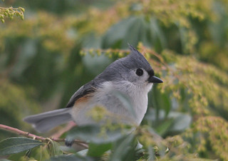 Tufted Titmouse | by GlennCantor (theskepticaloptimist)