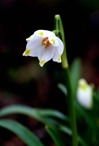 Bell Snowdrop | by peterabrown