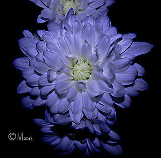 Chrysanthemum | by bazmoore4