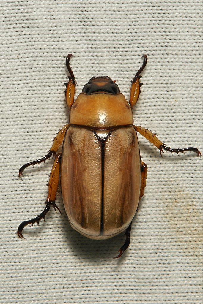 scarab beetle scarabaeidae pu er yunnan china itchydogimages