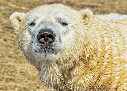 Polar Bear | by mississaugapictures