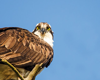 Osprey Poses | by mwbergeron01