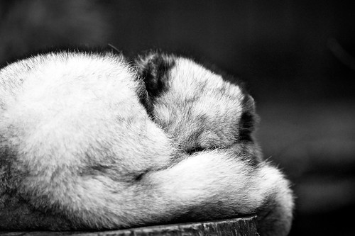 Sleeping arctic fox... | by generalstussner