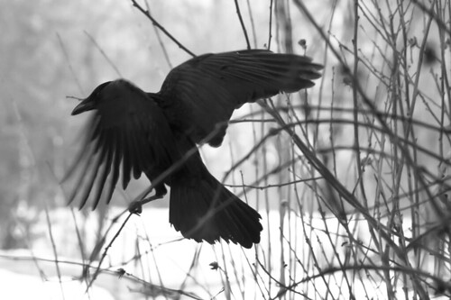 black bird | by BarbaraWilli