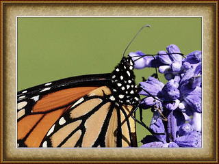 Monarch Dines On  Purple Flower | by Vidterry