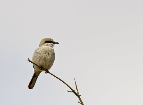 Northern Shrike | by Shawn McCready