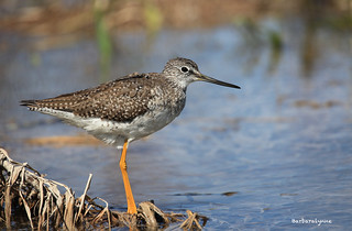 Greater Yellowlegs Fishing | by naturethroughmyeyes.com