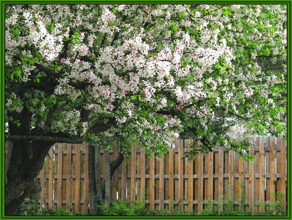 White Crab Apple Tree Malus Snowdrift Flowering In S Flickr