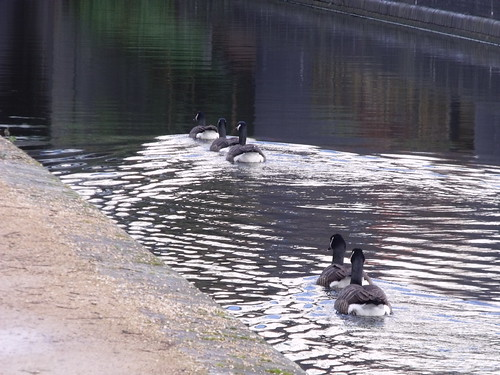 Worcester & Birmingham Canal - Bath Row to Granville Street - Canada Geese | by ell brown
