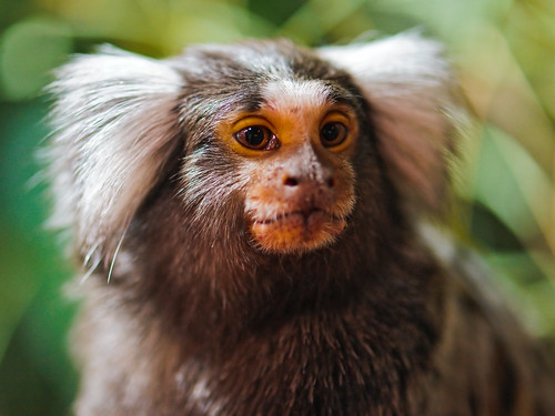 Portrait of a cute marmoset | by Tambako the Jaguar