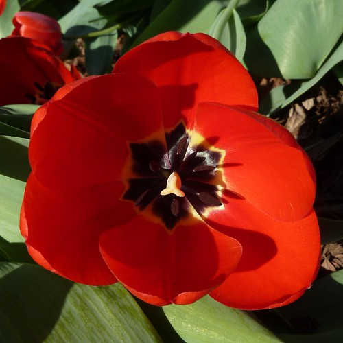 Wheaton, IL, Red Tulip | by Mary Warren (8.7+ Million Views)