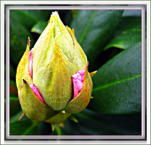 The flower of the Rhododendron can be imagined | by © the-best-is-yet-to-come ©