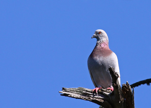 Rock Pigeon...#4 | by Guy Lichter Photography - 3.7M views Thank you