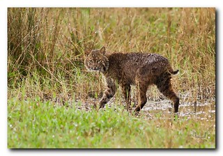 Bobcat Series 1 of 4 | by Nature Photos by Scott