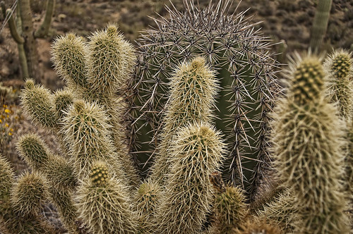 Cholla Love | by Steven Maguire Photography