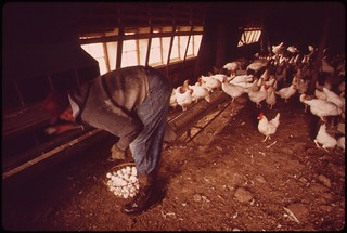 Farmer John Dolezal in hen-house of his farm near Bee Nebraska. Boots protect him from heavy rain falling outside. Rain this year reached twice the normal level for the area, May 1973 | by The U.S. National Archives