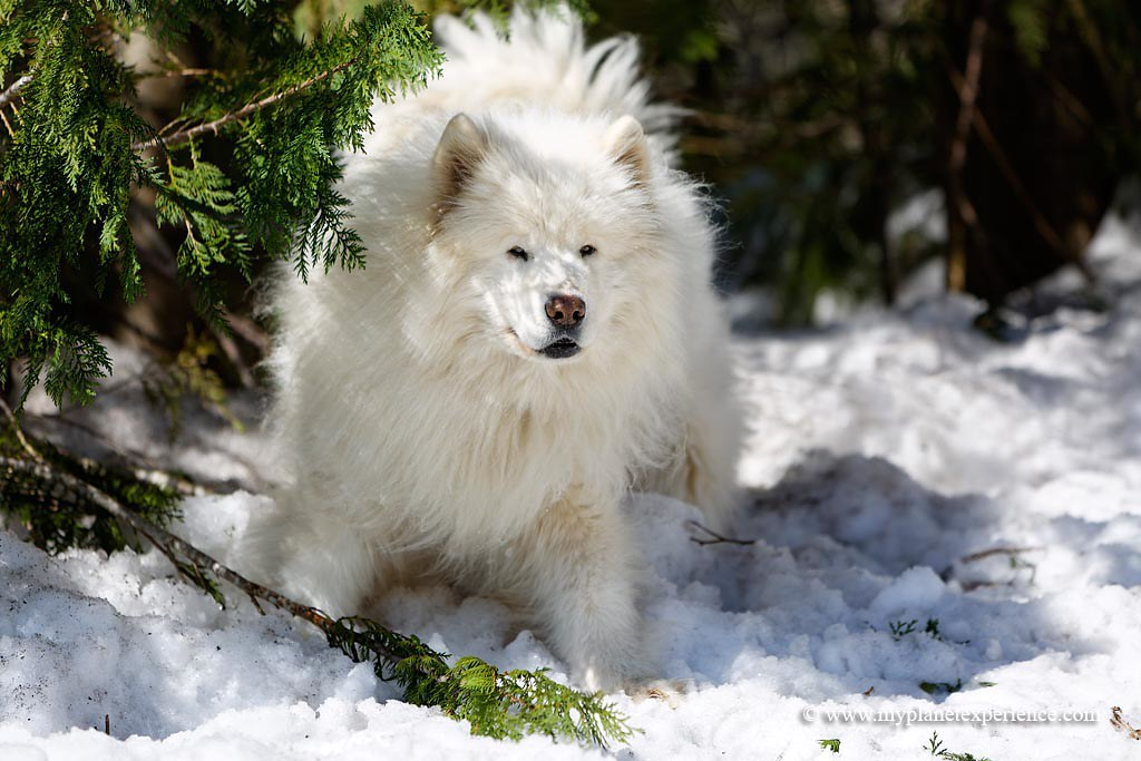 Samoyed | by My Planet Experience Samoyed | by My Planet Experience