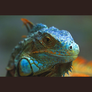 Blue Iguana | by -clicking-