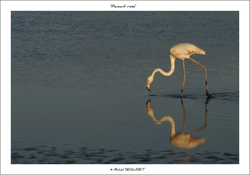 Flamant rose / Flamingo | by Michel Seguret Thanks for 10,5 M views !!!
