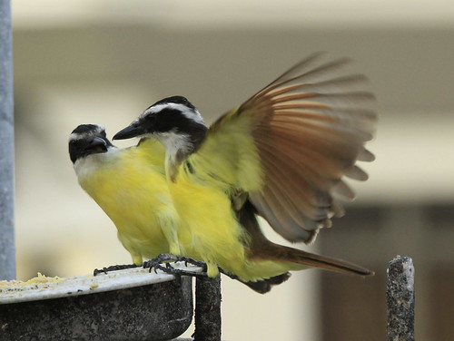 Great Kiskadee | by Charles D. Peters, M. P. R.