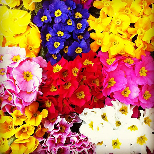 プリムラ ジュリアン at.flower