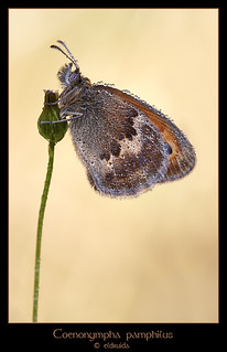 Coenonympha pamphilus (Explore) | by El druida