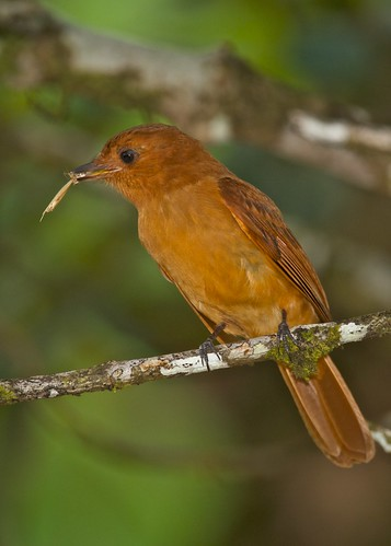 9531 Rufous Mourner with straw | by leehunterphotos