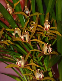 new acquisition 2-12, Cymbidium schroederi species orchid 4-12* | by nolehace