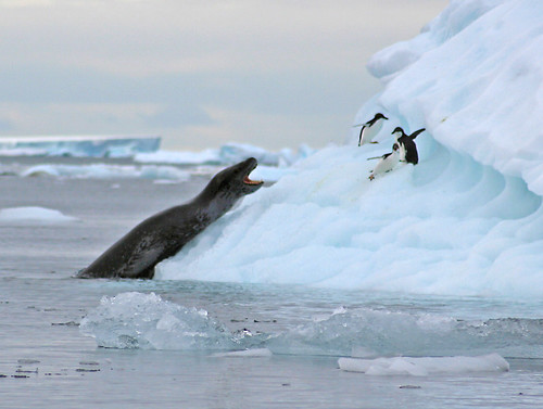 Leopard Seal Attack | by GrahamC57